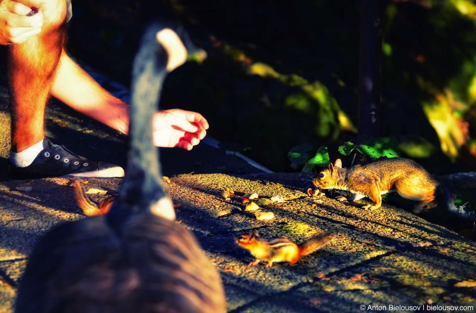 Кормлю бурундучков, белку и гуся в Хай Парке Торонто