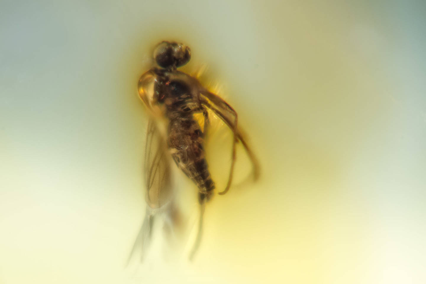 Dominican amber insect 20 mln years old