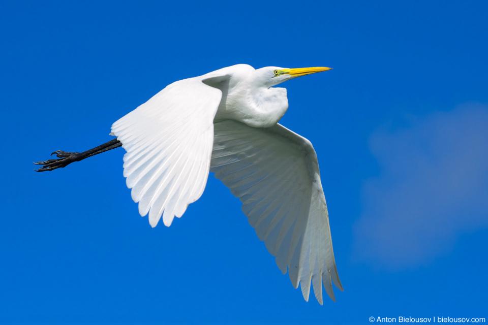 Flying cattle egret (Los Haitises, Dominican Republic)