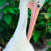 Большой белый пеликан Гомер Симпсон