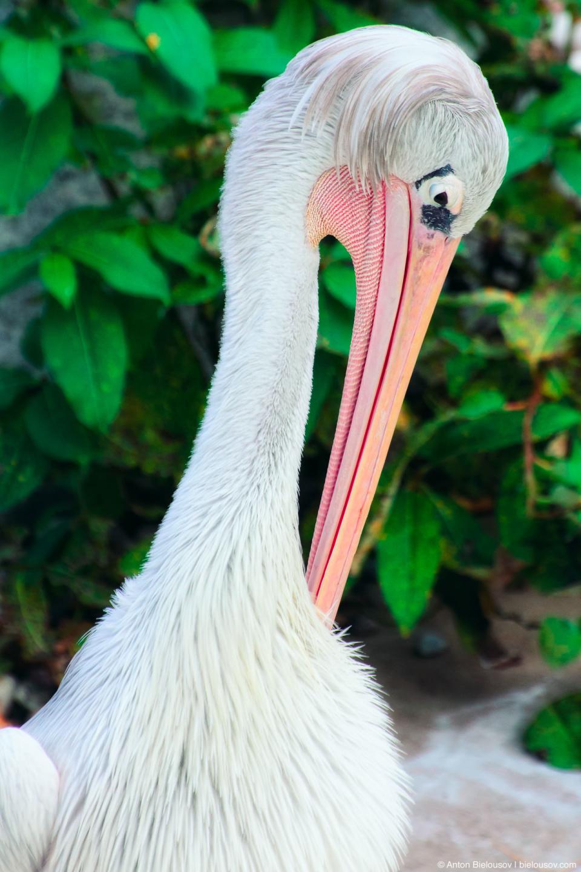 Great White Pelican Homer Simpson (Toronto Zoo)