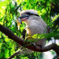 Laughing Kookaburra (Dacelo novaeguineae) — Смеющаяся кукабара или зимородок-великан
