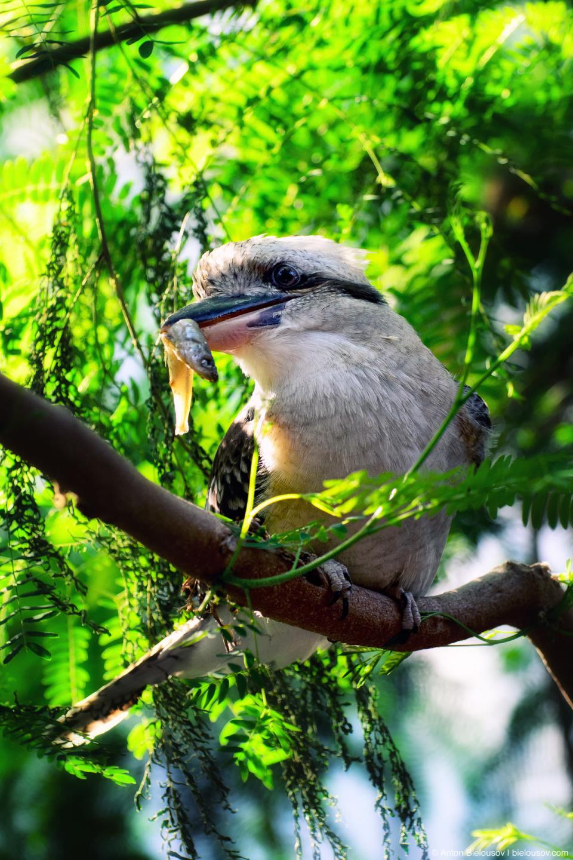 Laughing Kookaburra (Dacelo novaeguineae) — Смеющаяся кукабара или зимородок-великан (Toronto Zoo)