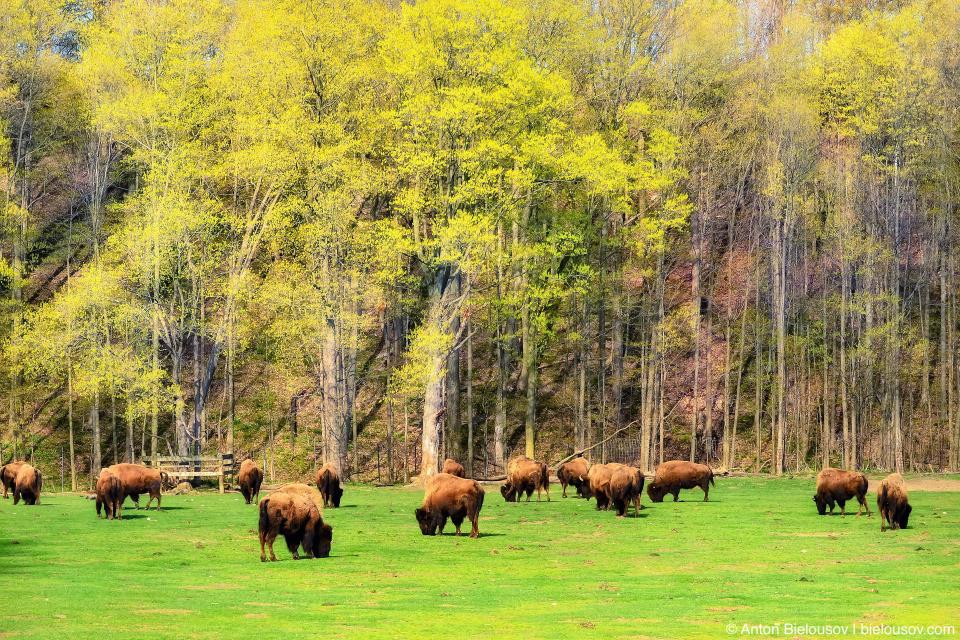Buffalos in Toronto Zoo