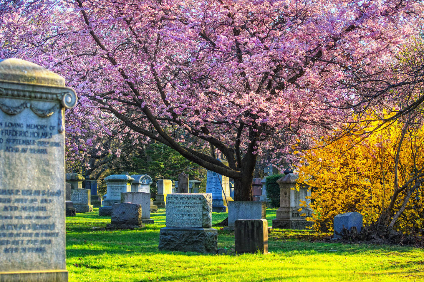 Cherry blossom at Mount Pleasant Cemetery in Toronto