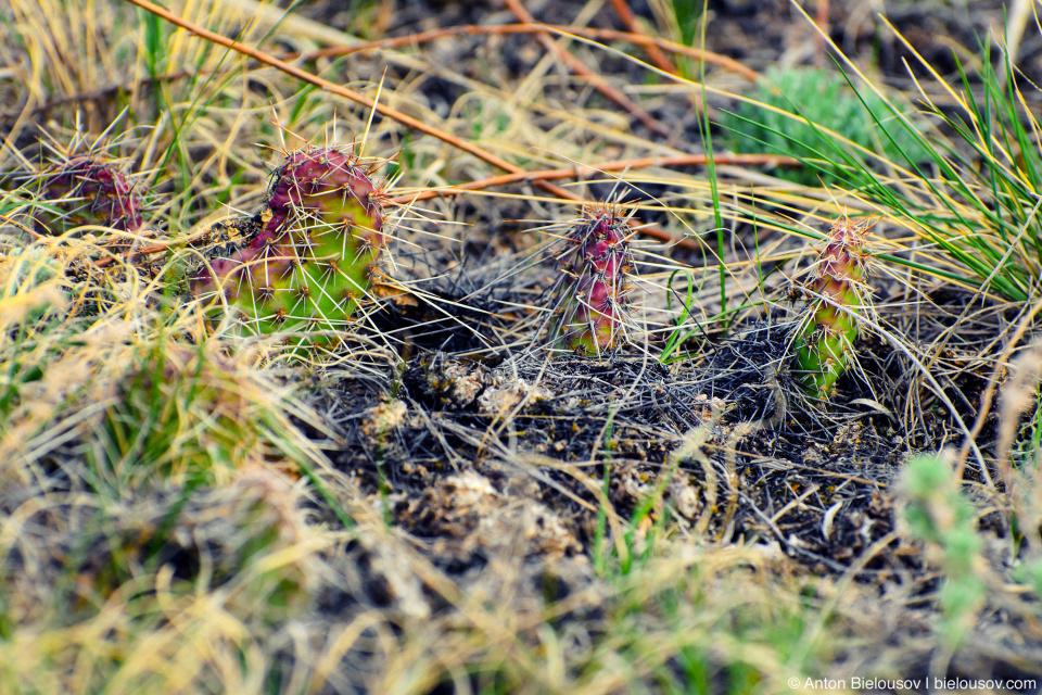 Кактусы в Долине динозавров (Альберта)