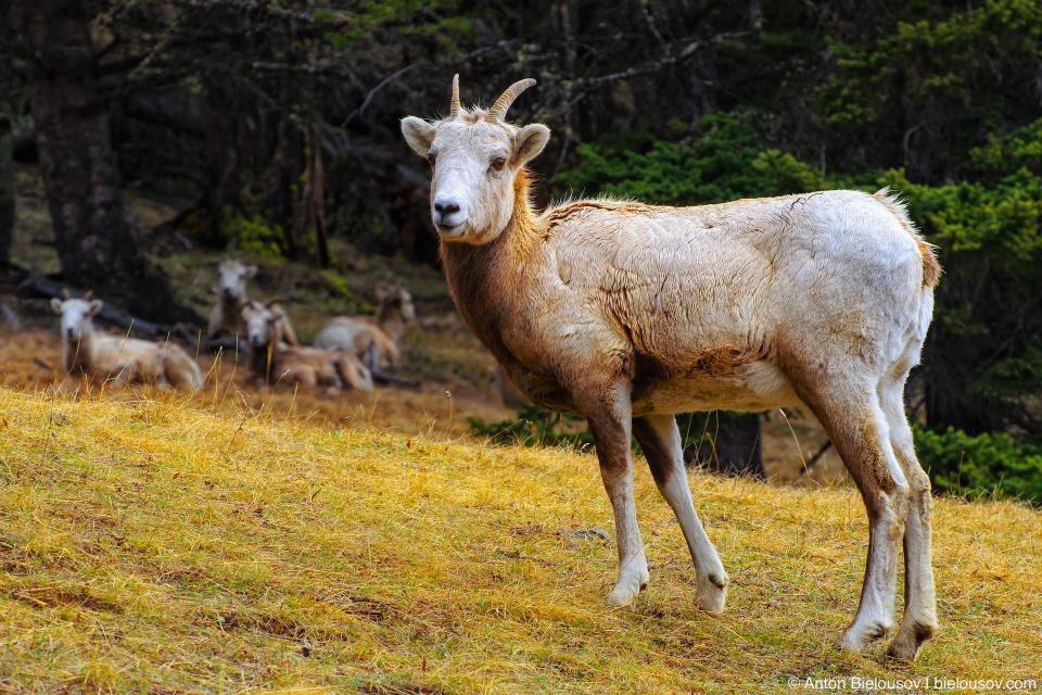 Bighorn sheep in Banff National Park