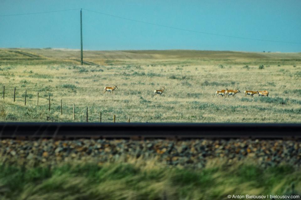 Deer near Trans-Canada Highway in Saskatchewan