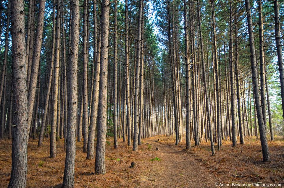 Сосновый лес — параллельный