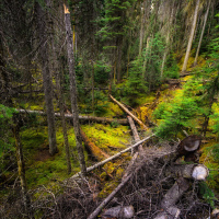 Yoho National Park forest