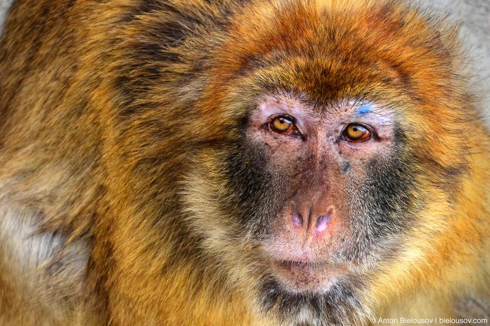 Barbary ape (Macaca sylvanus)