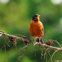 American Robin/ Странствующий дрозд