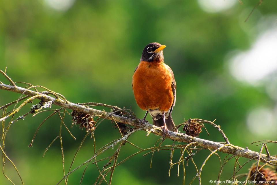 Странствующий дрозд (American robin) в Ванкувере встречается только в парках в то время как в Торонто он есть буквально везде
