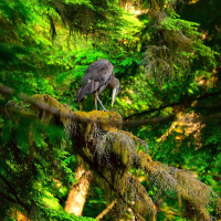 Grey heron on a tree in British Columbia rainforest