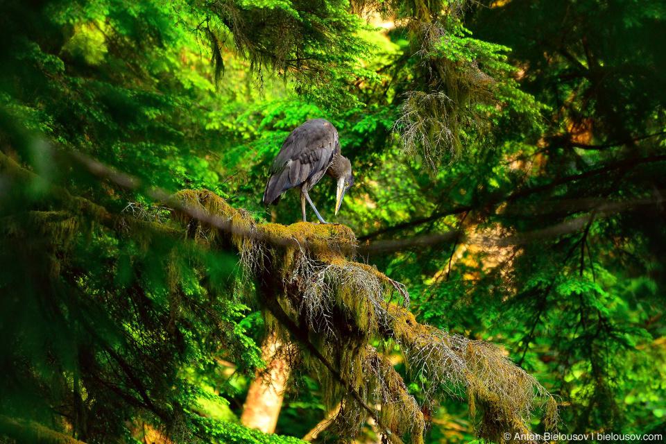 Grey heron on a tree in British Columbia rainforest
