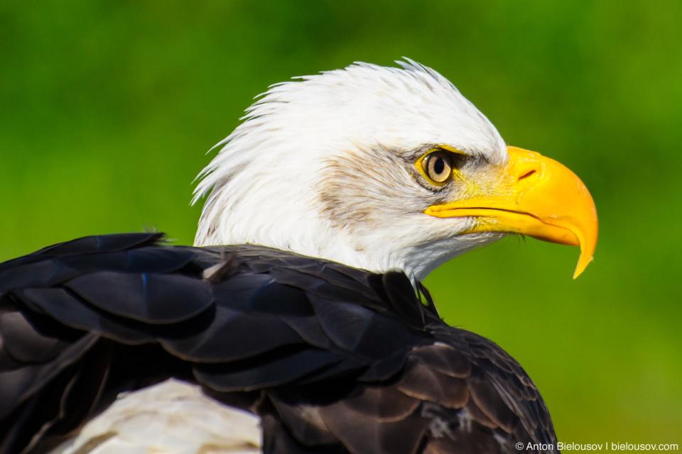 American Bald Eagle (Grouse Mountain)