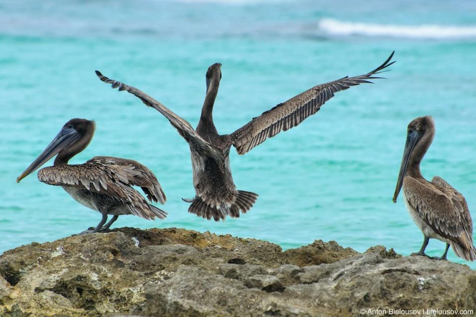 Американский бурый пеликан (Brown pelican/ Pelecanus occidentalis)