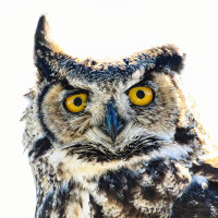 Great horned owl / Виргинский филин
