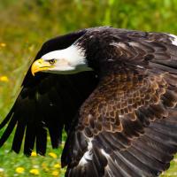 Bald Eagle / Белоголовый орлан