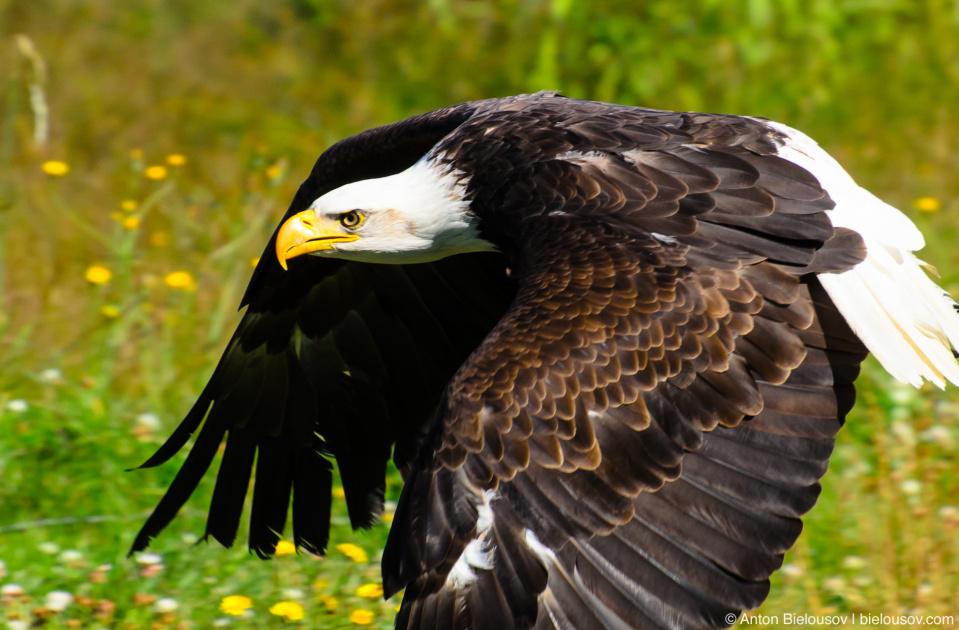 Белоголовый орлан / Bald Eagle
