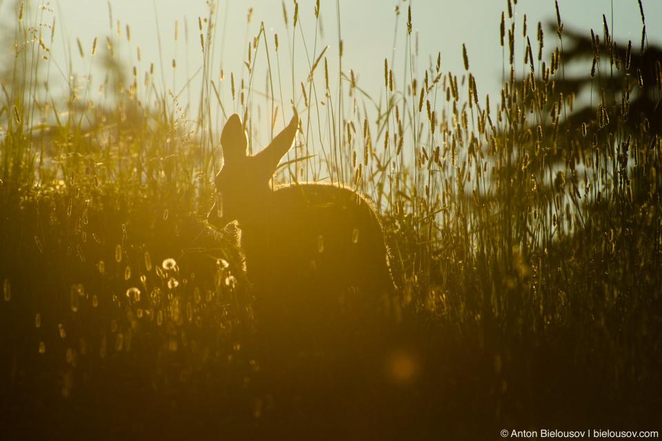 Олень, маскирующийся под кенгуру