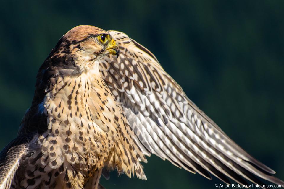 Краснохвостый сарыч / Red-tailed Hawk