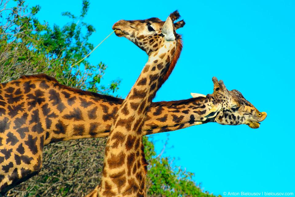 Жирафы, перекрещивающие шеи