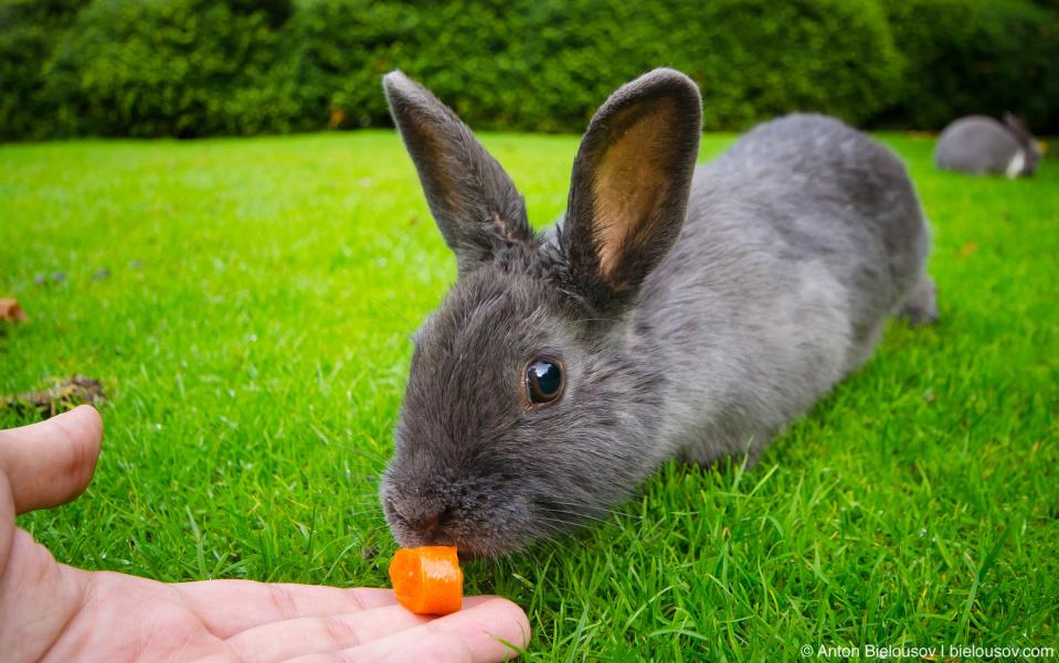 Feeding a rabbit in Minoru Park (Richmond, BC)