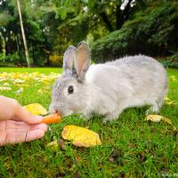 Кролик берет из рук морковку