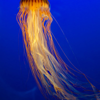 Japanese sea nettle