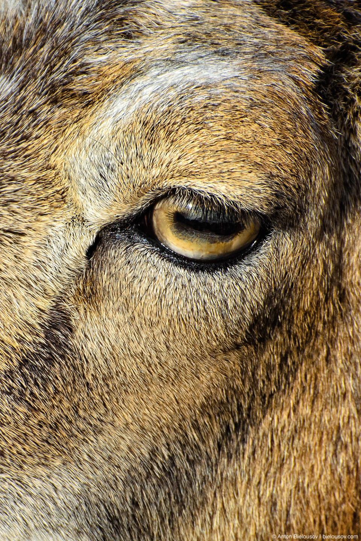 Глаз горного козла крупным планом