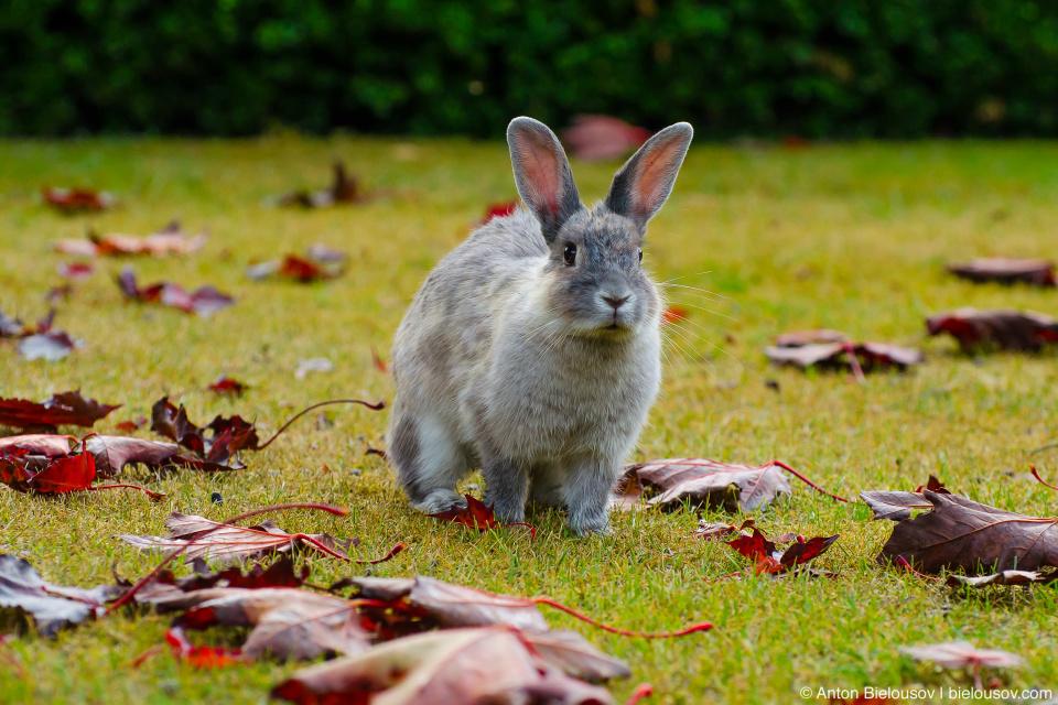 A bunny in canada red maple leafs in Minoru Park (Richmond, BC)