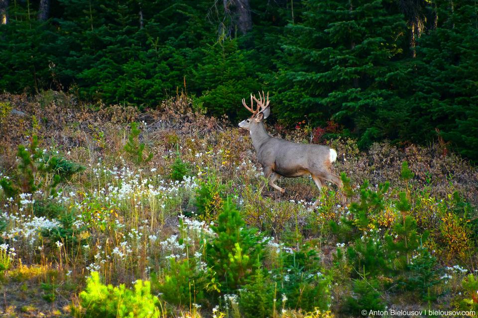 Белохвостый олень в Sun Peaks, BC