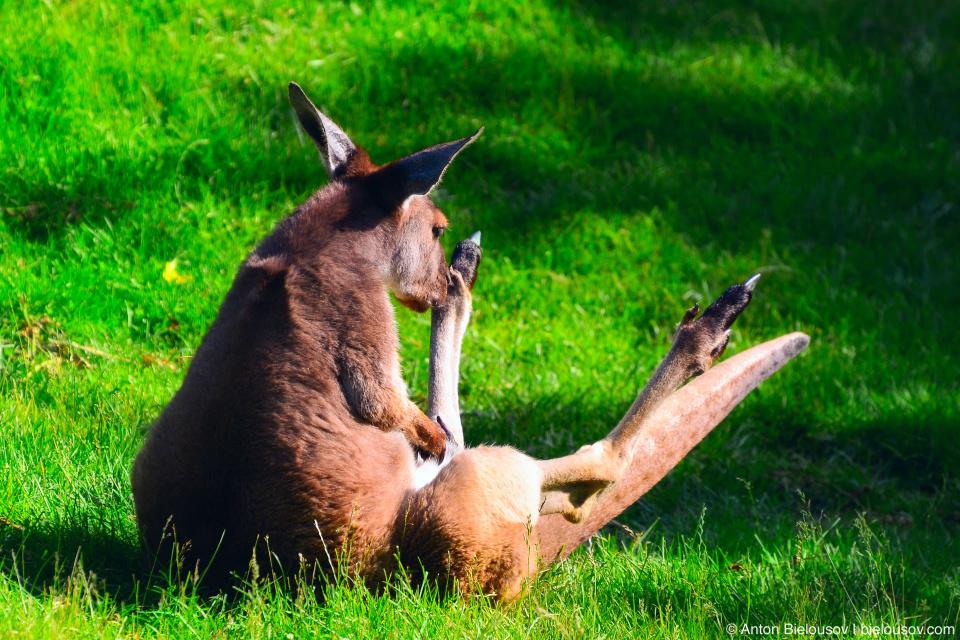 Toronto Zoo kangaroo masturbating