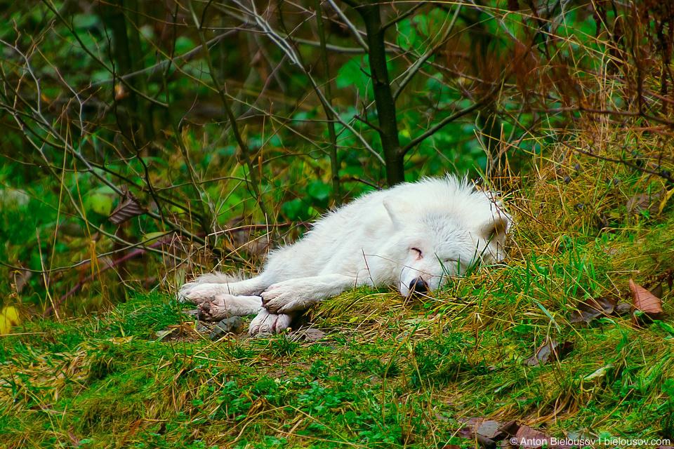 Белый волк у подножия Grouse Mountain