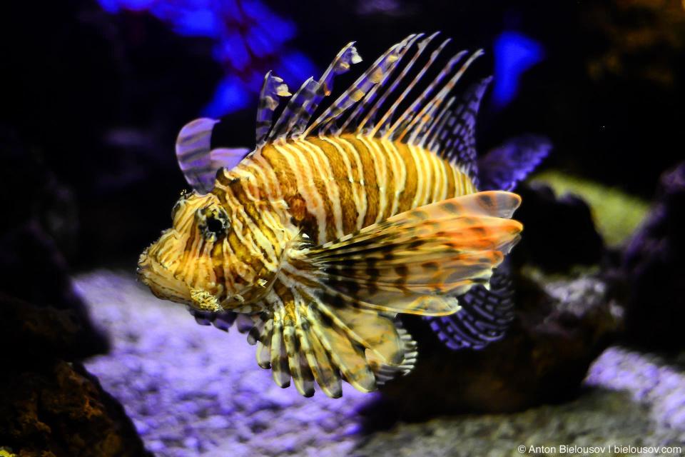 Крылатка или рыба-лев. Хорошо знакомая по Карибским островам — красивые, но ядовитые.