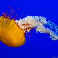Pacific Sea Nettle (Chrysaora fuscescens) — живут у тихоокеанского побережья Канады, США и Мексики, плотоядны; вооружены сильным (но не смертельным для человека) токсином; охотятся своим хвостом как сетью c шипами и способны захватаить, а с помощью отксина обездвижить пропывающую рыбу