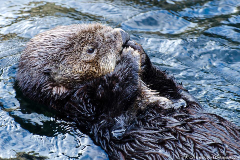 Sea Otter (калан или морская выдра)