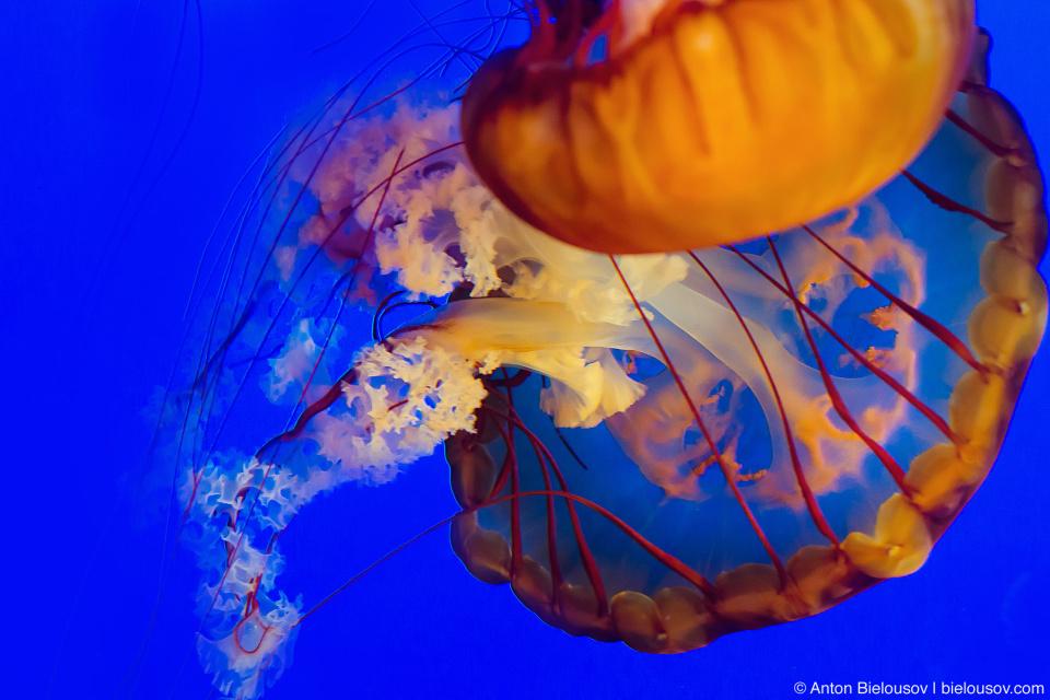 Пара тихоокуанских морских крапив (Pacific Sea Nettle), Vancouver Aquarium