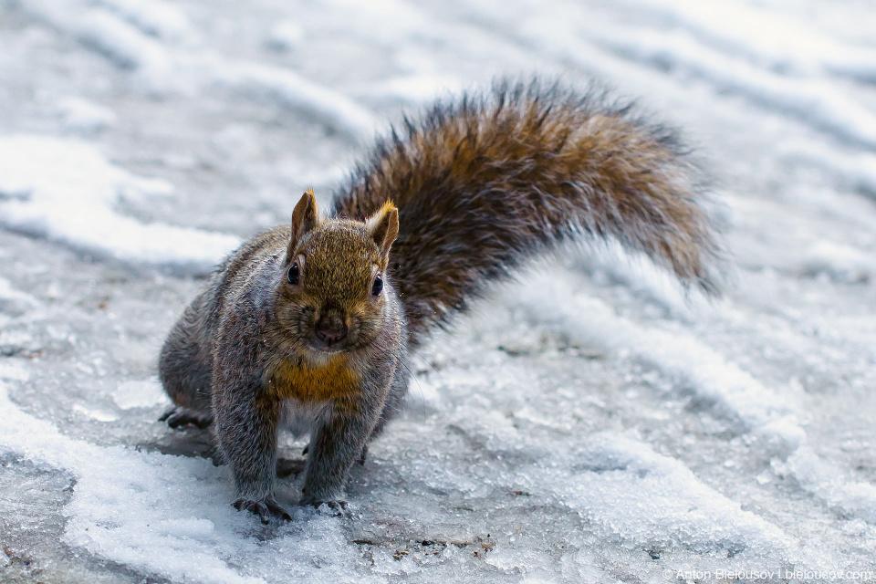 Канадская белка на снегу