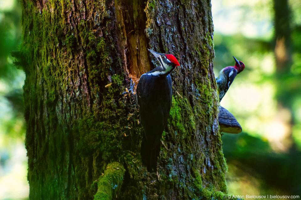 Пара дятлов на замшелом дереве — Pileated Woodpecker и Red-headed Woodpecker