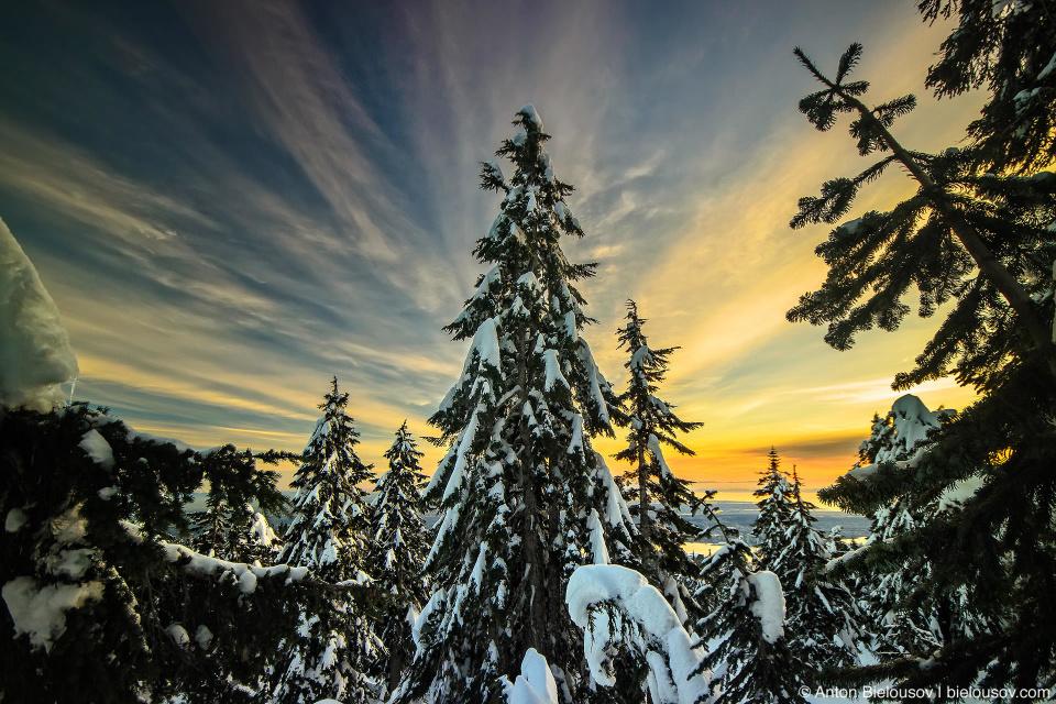 Заснеженные ели на закате на Grouse Mountain