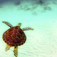Морская черепах на Юкатане (Мексика)
