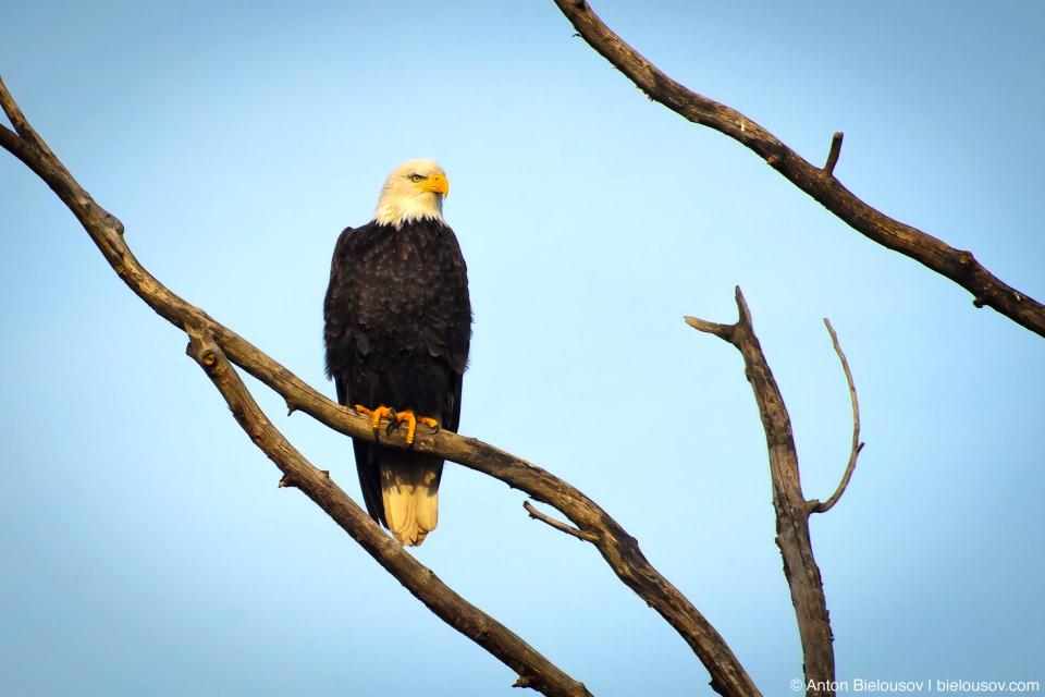 Bald Eagle — Steveston, Richmond, BC