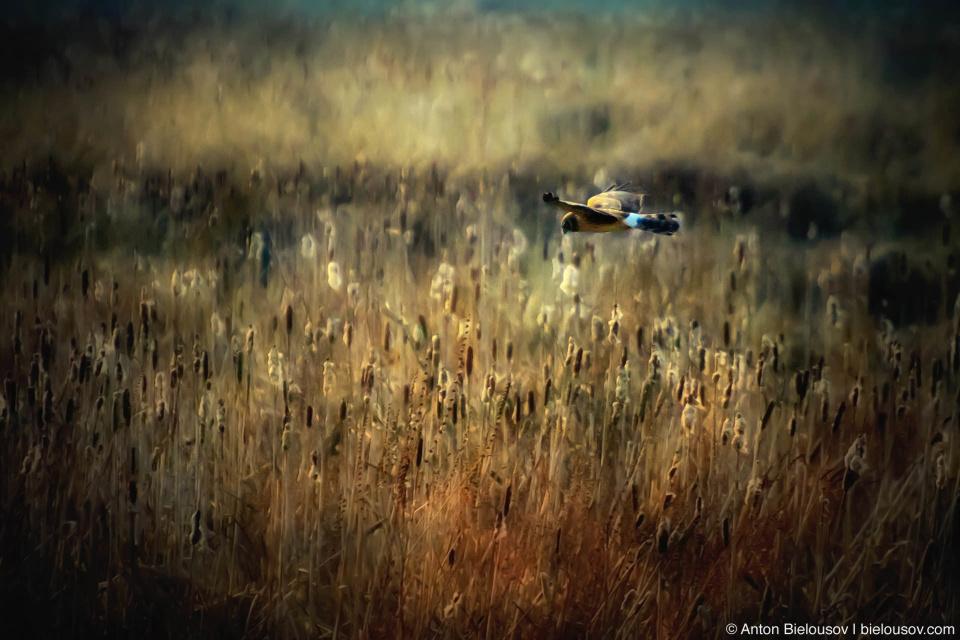 Сокол ищет мышей в камышах (Sharp-shinned hawk)