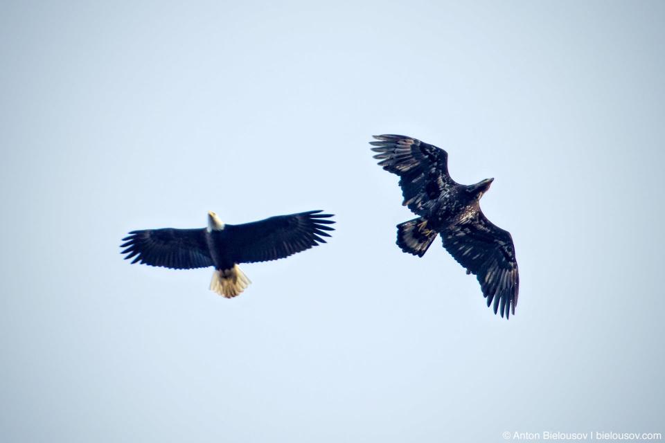Bald Eagle (adult male and juvenile) — Steveston, Richmond, BC
