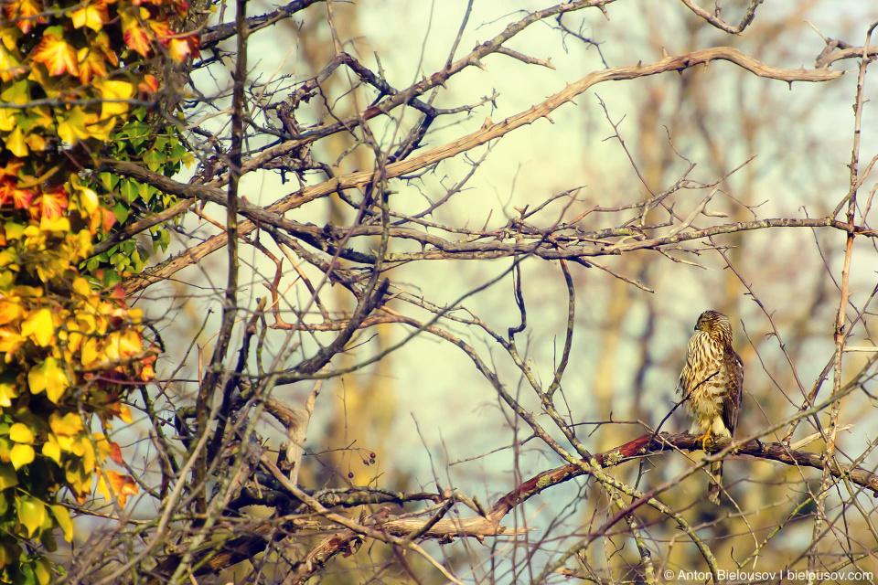 Полосатый ястреб (Sharp-shinned hawk) — в русском языке получил свое имя за полоски на хвосте, в английском — за тонкие длинные щиколотки