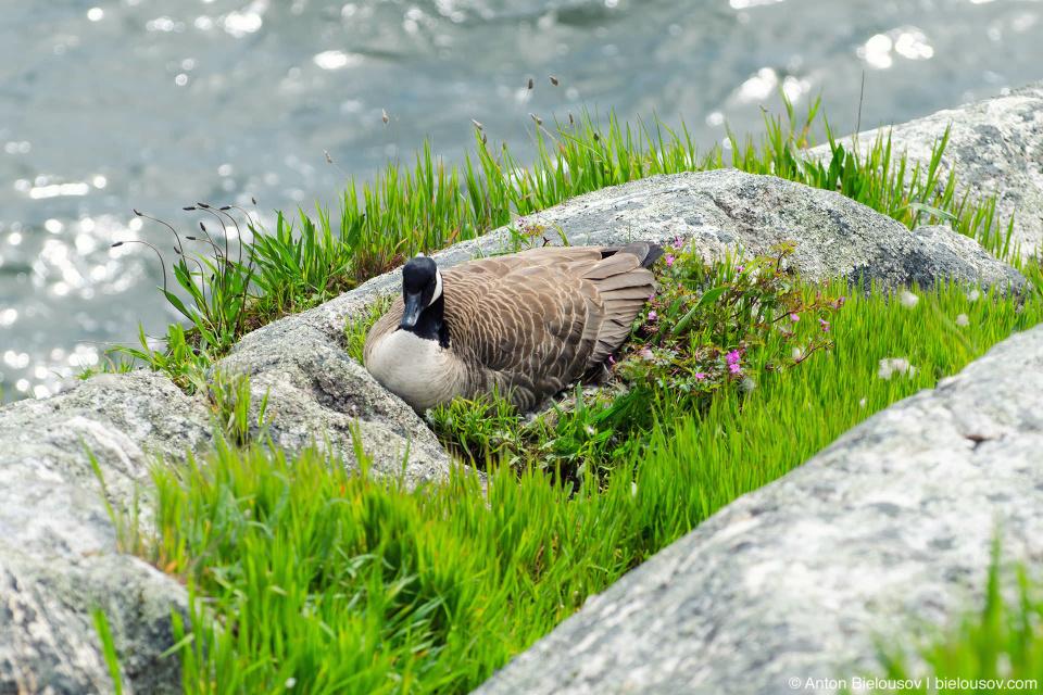Гусыня построила себе гнездо на самом живописном месте острова Whytecliff