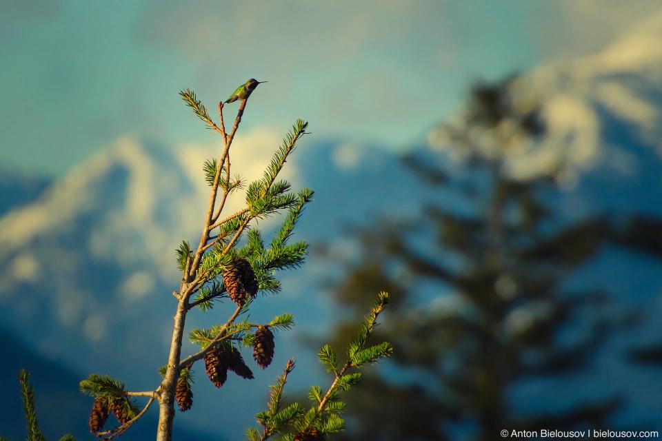Колибри Калипта Анны (Anna's Hummingbird) — единственная колибри, которая круглогодично живет в Британской Колумбии