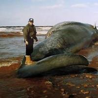 Синий кит на северозападное побережье канадского острова Приц Эдвард (Phee Shore, Prince Edward Island) после столкновения с кораблем в ноябре 1987 года